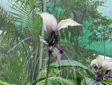 One of the most stunning flowers in the world the Bat Plant!
