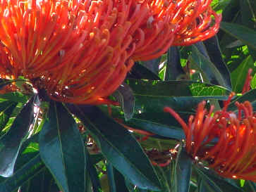 Beautiful Qld Tree Waratah