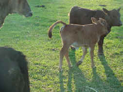 Imported Red cow's heifer calf