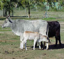 Bull calf for sale